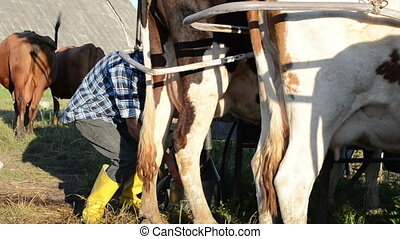 man milking machine cow - milker farmer man in yellow boots...