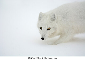 Arctic Fox - An arctic fox in the snow near Churchill,...