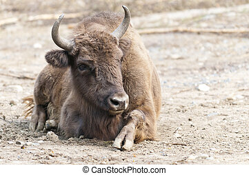 European bison - The European bison, also known as wisent or...