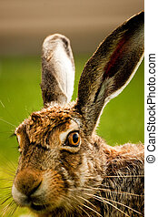 European hare profile portrait - A closeup profile portrait...