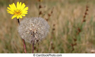 dandelion autumn season