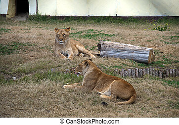 Portrait of two lions relax to go out
