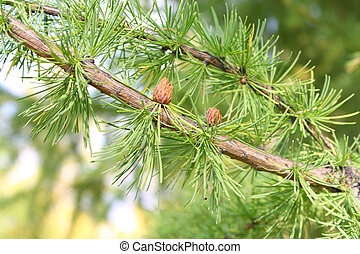 fir tree branch with cones