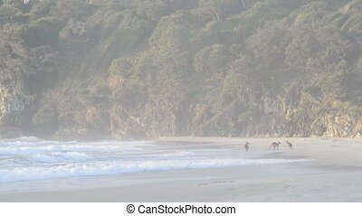 Kangaroos On Beach - Australian Kangaroo's in a family...