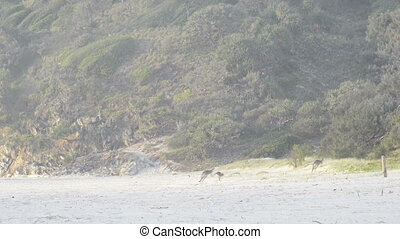 Kangaroos On Beach - Australian Kangaroos in a family...