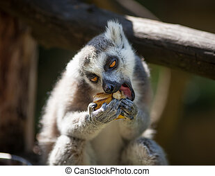 Lemur catta - Close-up portrait of lemur catta (ring tailed...