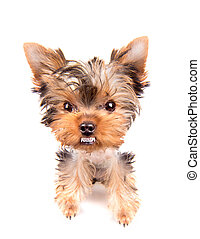 very angry Puppy on a white background