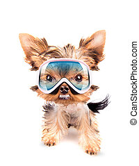 angry dog with ski mask - angry baby dog with ski mask on a...