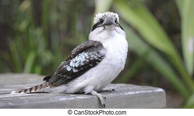 Kookaburra - Australian native Kookaburra bird close up in...