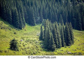 Fir tree forest. Tien Shan, Kyrgyzstan