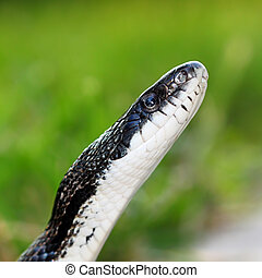 Rat Snake (Elaphe obsoleta) - Rat Snake on a summer day at...