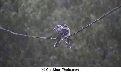 Kookaburra Birds On Wire - Pair of Australian native...