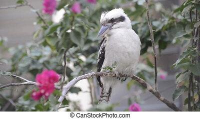Kookaburra - Australian native Kookaburra bird close up...