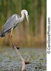 Grey Heron hunting for fish