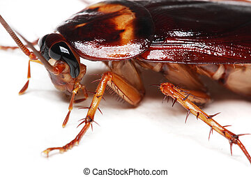 Cockroach - Close up of a cockroach on white background.