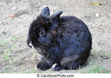 Rabbit - Black Rabbit is sitting in the garden