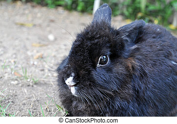 Rabbit - Black rabbit is lying in the garden