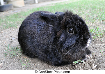 Rabbit - Black rabbit is lying in the garden.
