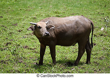 Buffalo in rural Thailand