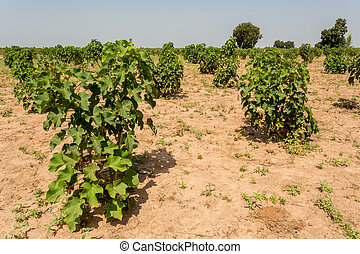 Jatropha plants in their early stage of grown planted in the...
