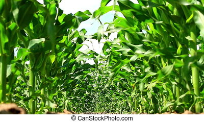 Maize field low angle view