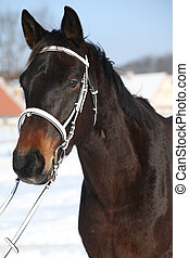 Beautiful brown warmblood with white bridle in winter -...