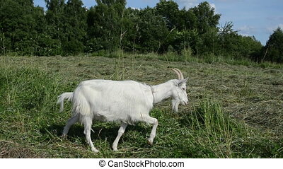 goat graze meadow - in the meadow graze white goat nibble on...