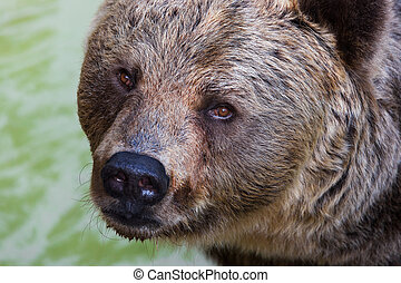 wild brown bear - beautiful wild brown bear close up