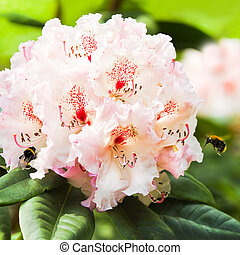 Rhododendron flowers with bumble bees - Pink Rhododendron...