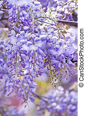 Wisteria sinensis flowers in spring - Beautiful Wisteria...