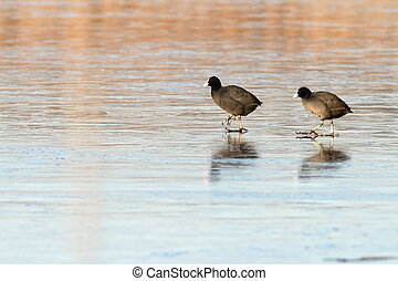 two birds on ice - two birds common coots, fulica atra...