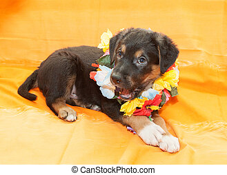Small black puppy with brown markings plays on an orange...