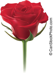 Red rose isolated on white background. Vector illustration