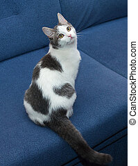 White kitten with gray spots sitting on blue couch, dangling...