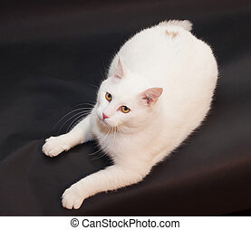 Thick white cat with yellow eyes lying on black background,...