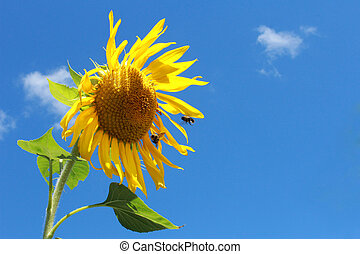 Yellow sunflower with two bumble bees - Two bumble bees...