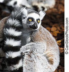 Lemur eyes wide open