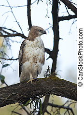 Changeable Hawk-Eagle - Changeable hawk-eagle on a branch in...