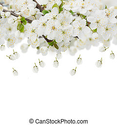Blossoming Apple Flowers - Blossoming plum flowers against...