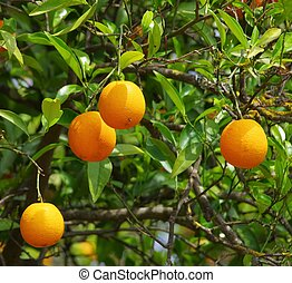 orange fruit on tree