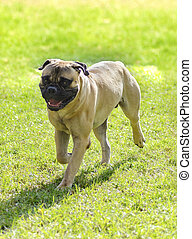 Bullmastiff dog - A young, beautiful red fawn, medium sized...