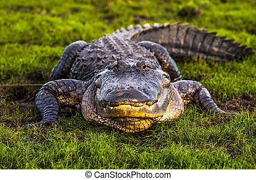 American Alligator - Wild American Alligator in Florida...