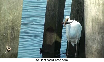 Egret eating a fish on a dock