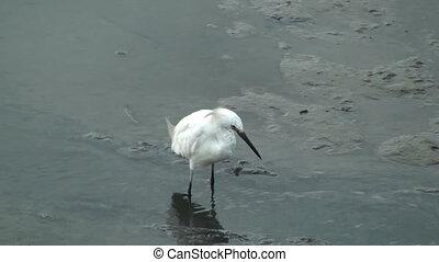 Egret in a small stream
