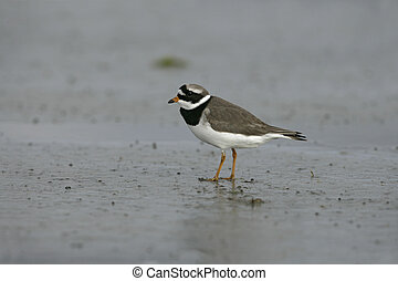 Ringed plover, Charadrius hiaticula, single bird by water,
