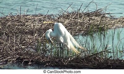 Egret Preening - Egret preening in the marsh