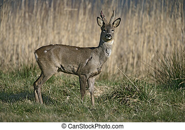 Roe deer,  Capreolus capreolus, single male by reeds, Dorset