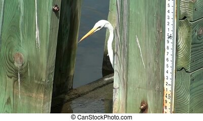 White Egret Playing Peekaboo - White Egret playing peekaboo...
