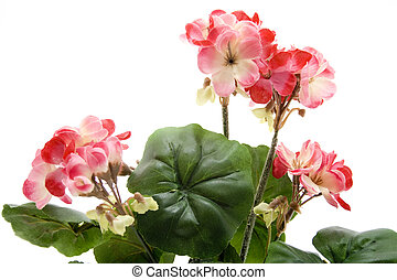 Geranium for dekoraion on white background