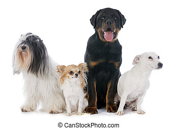 four dogs in front of white background